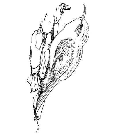 Brown Creeper Bird coloring page