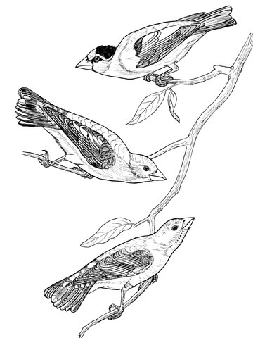Grosbeak Birds coloring page