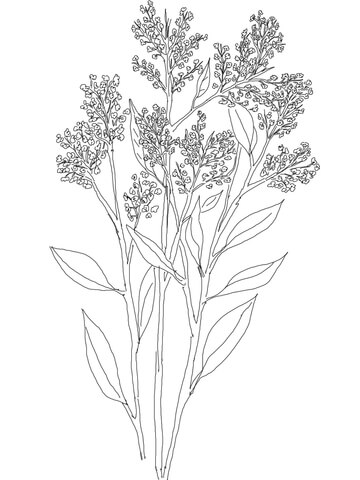 Gypsophila or Baby's Breath coloring page