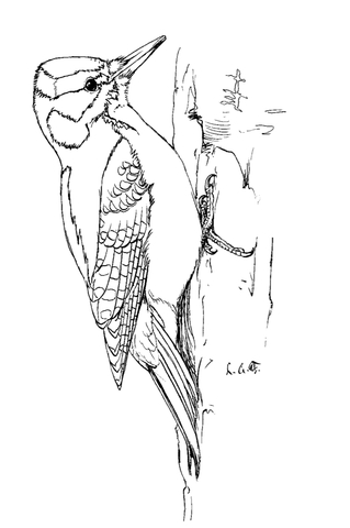 woodpecker 9 coloring page hairy woodpecker coloring page