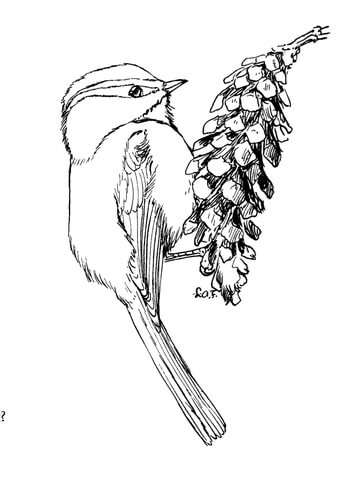 Mountain Chickadee coloring page