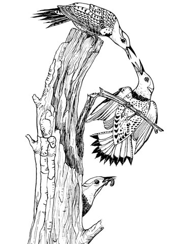 Northern Yellow Shafted Flickers coloring page