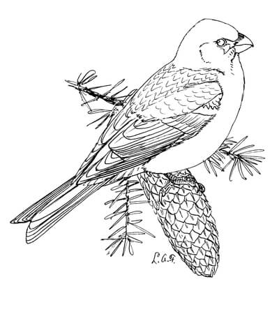 Pine Grosbeak coloring page