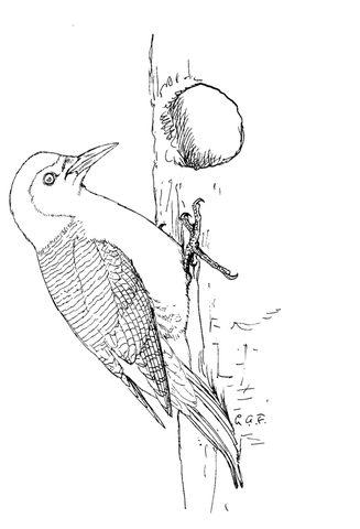 Pileated Woodpecker And Chicks Coloring Page Free Printable