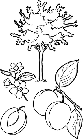 Apricot Tree  coloring page