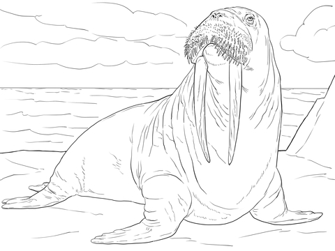 Adult Male Walrus Coloring Page Free Printable Coloring Pages