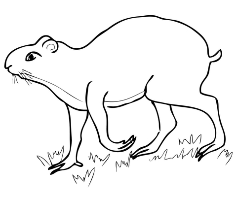 Agouti Coloring page