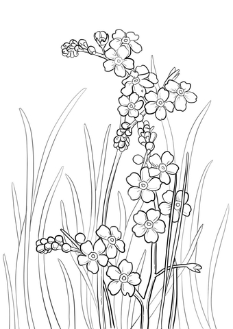 Alpine Forget-Me-Not coloring page