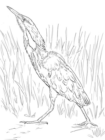 American Bittern coloring page