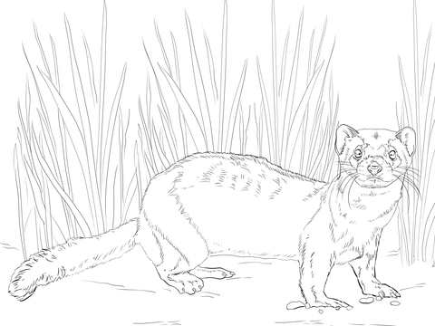 American Polecat or Black Footed Ferret coloring page