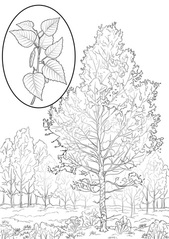 American White Birch coloring page