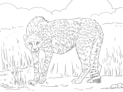 Asiatic Cheetah coloring page