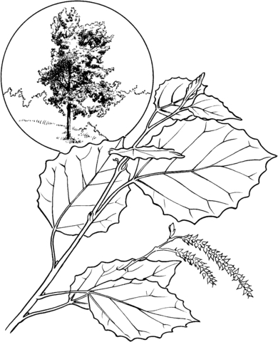 American aspen or white poplar coloring page