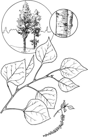 Quaking aspen tree coloring page