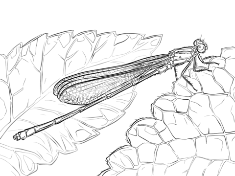 Australian Damselfly coloring page
