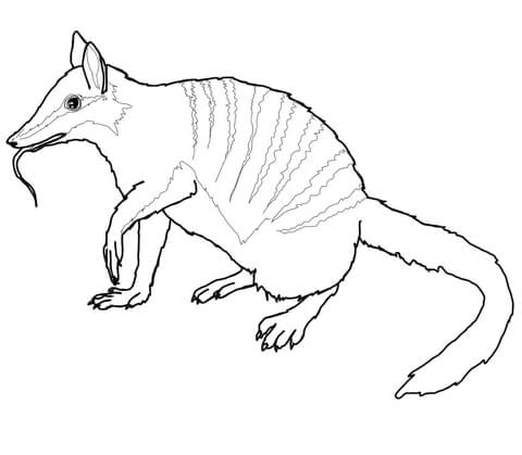 australian numbat coloring page