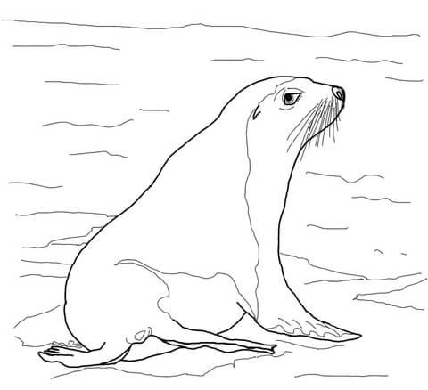 Australian Sea Lion Coloring Page