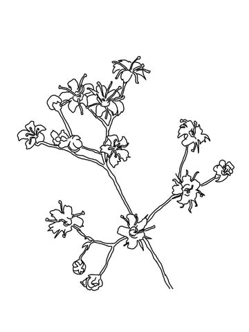 Baby's Breath coloring page