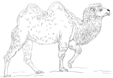 Bactrian Camel coloring page - Free Printable Coloring Pages