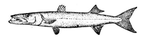 yellowtail barracuda shoal coloring page barracuda coloring page