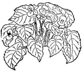 Begonia 2 coloring page