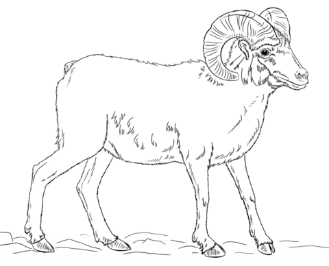 Desert bighorn sheep coloring page