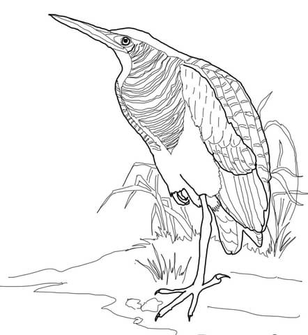 Bittern coloring page