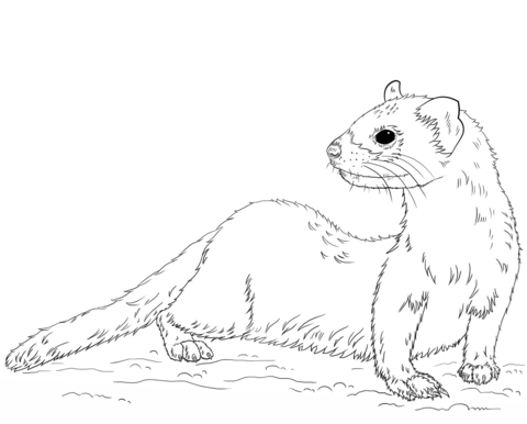Black-footed Ferret coloring page