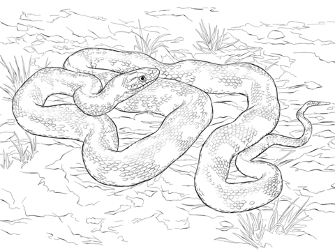Dangerous Boa Coloring Page Free Printable Coloring Pages