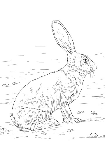Black Tailed Jackrabbit coloring page
