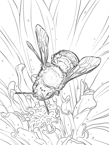 Blue Orchard Bee coloring page