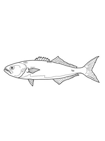 Bluefish or Tailor coloring page