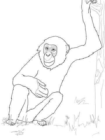 Bonobo Chimpanzee coloring page - Free Printable Coloring Pages