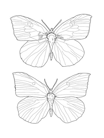 Buckeye Butterfly coloring page