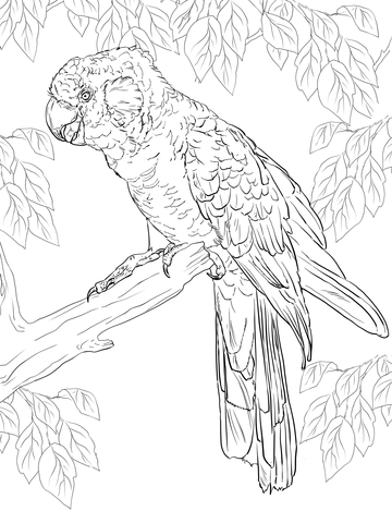 Carnaby's Black Cockatoo coloring page