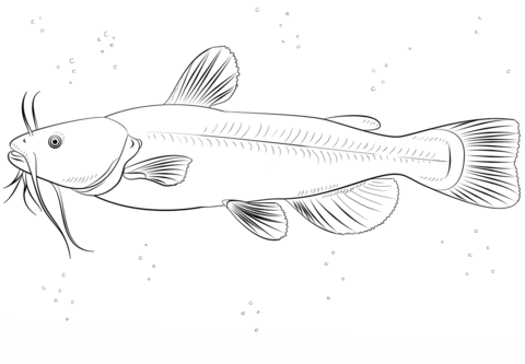 Bullhead catfish coloring page