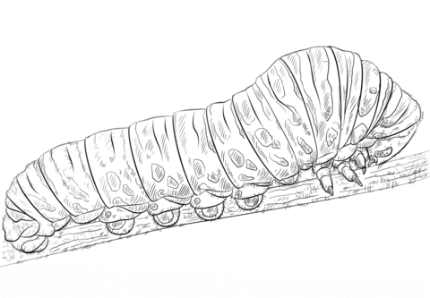 Woolly Bear Caterpillar coloring page - Free Printable Coloring Pages