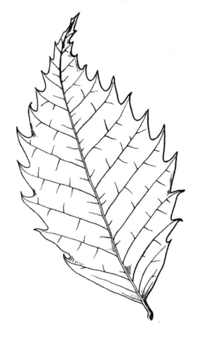 Chestnut Tree leaf coloring page