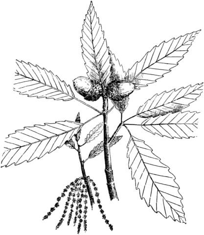 Chestnut Tree  coloring page
