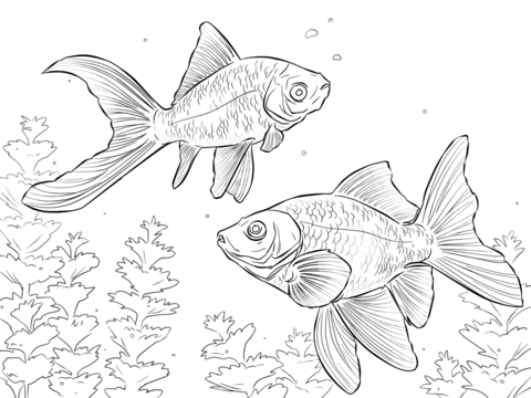 Comet Goldfishes  coloring page