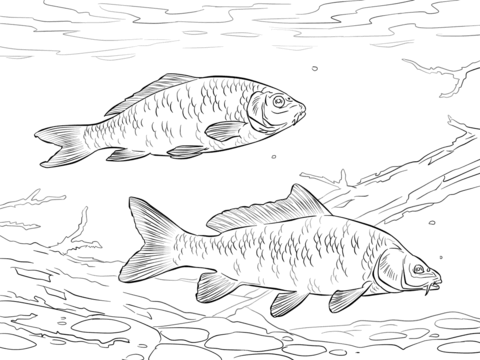 Common Carps coloring page