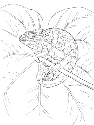 Common Chameleon coloring page - Free Printable Coloring Pages
