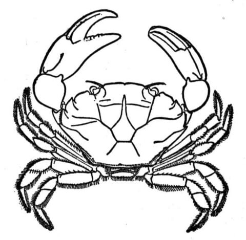 Stone crab coloring page