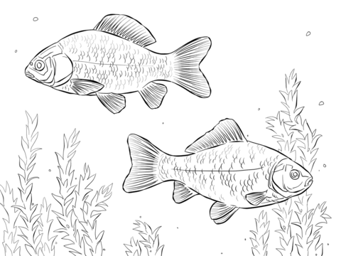 Crucian Carps coloring page