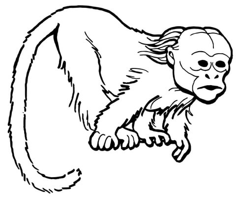 Curious Uakari Monkey coloring page
