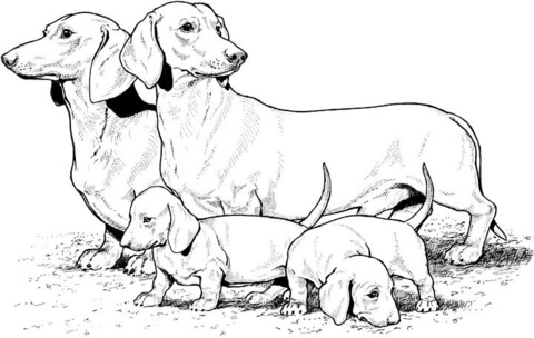 english setter coloring page dachshund with puppies coloring page