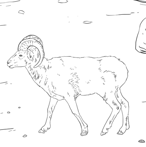 Dall's Sheep coloring page
