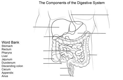 Digestive System Worksheet Coloring Page Free Printable Coloring Pages