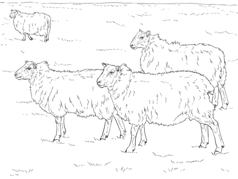 Domestic Sheeps coloring page