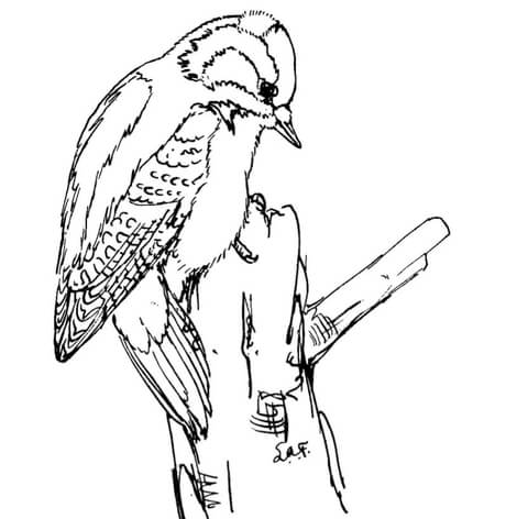 red cockaded woodpecker coloring page downy woodpecker coloring page